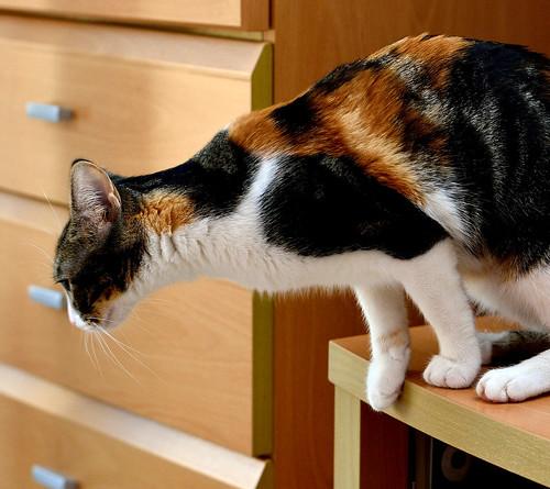 Freya, guapísima y activa gata tricolor jaspeada tabby esterilizada nacida en Mayo´16 en adopción. Valencia. 39054479314_c3576027cb