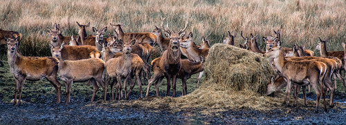 RED DEER - winter feed - Lyme Park | by hamlet3003 .