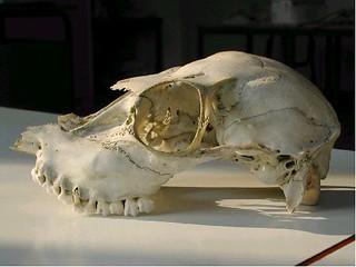 cranio, forse cervide