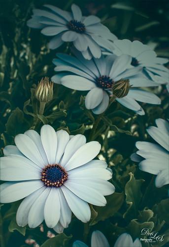 Image of some White Mum Flowers