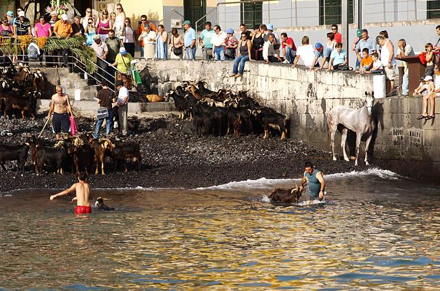 Goat bathing, Puerto de la Cruz