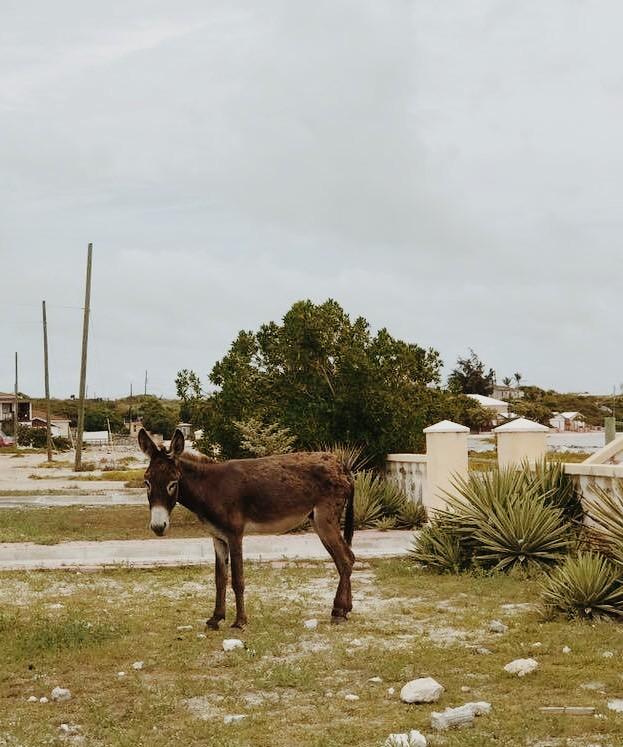 Grand Turk donkey