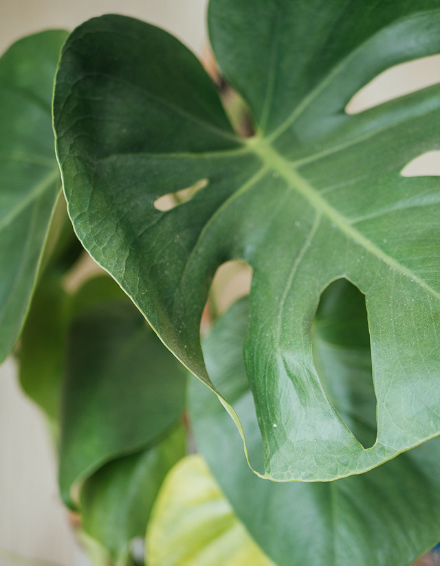 monstera leaves close up