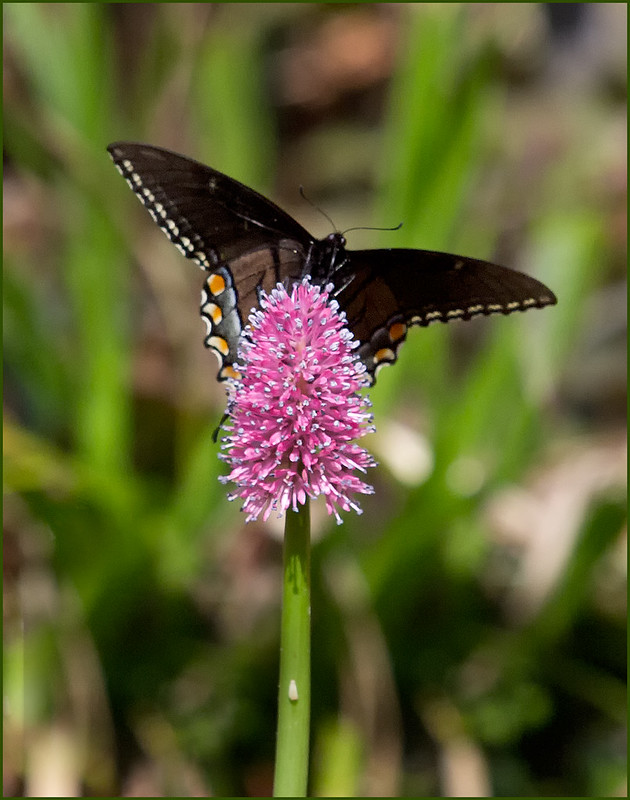 Helonias bullata pollinator