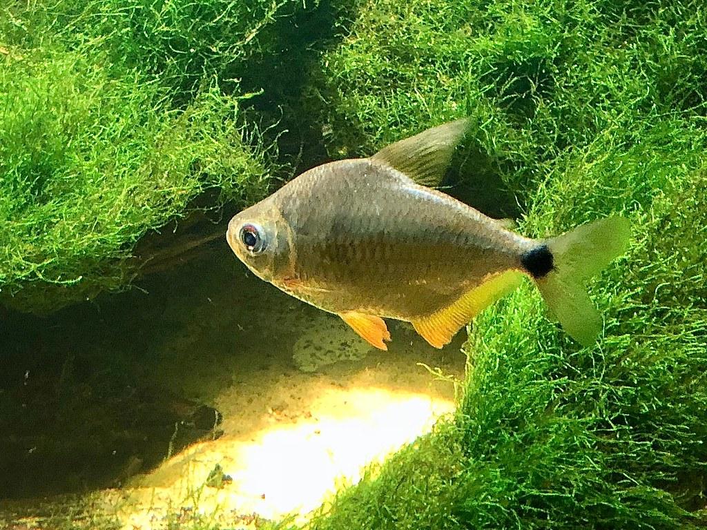 Osteichthyes Silver Tetra By Rons Aquarium Photos Thinglink Silver Tetra Taxonomy Kingdom Animalia Phylum Chordata Cu2026 Flickr