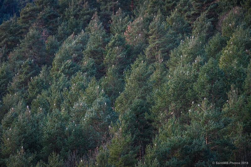 Procesionaria en los bosques de Bagà y Gisclareny