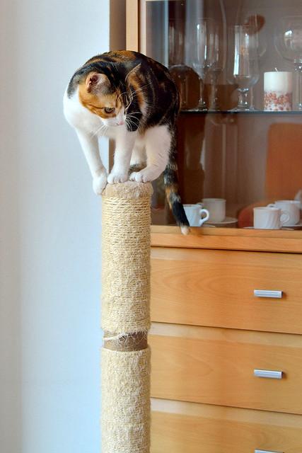 Freya, guapísima y activa gata tricolor jaspeada tabby esterilizada nacida en Mayo´16 en adopción. Valencia. 39054476974_6865850fd9_z