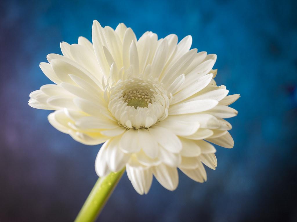 White Gerbera Flower Happy Valentines Day Tempusaura Flickr