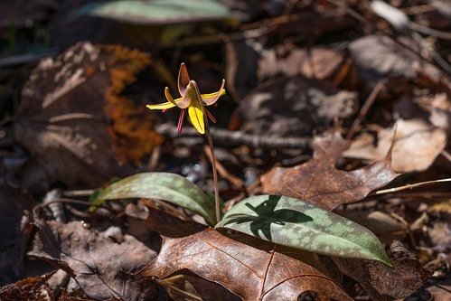 Dimpled Trout Lily with purplish brown anthers