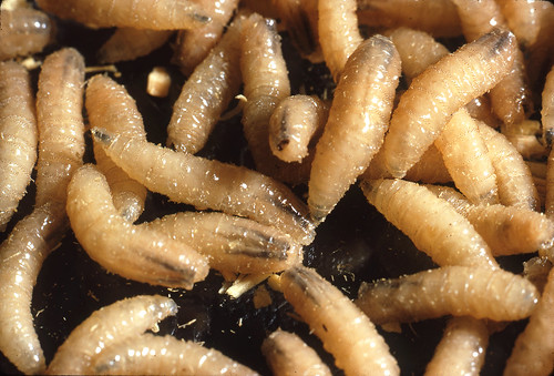 Screwworms
