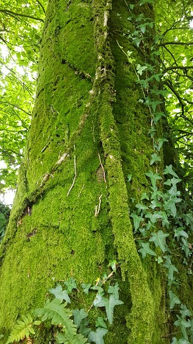 Mossy and ivy tree | by hugovk