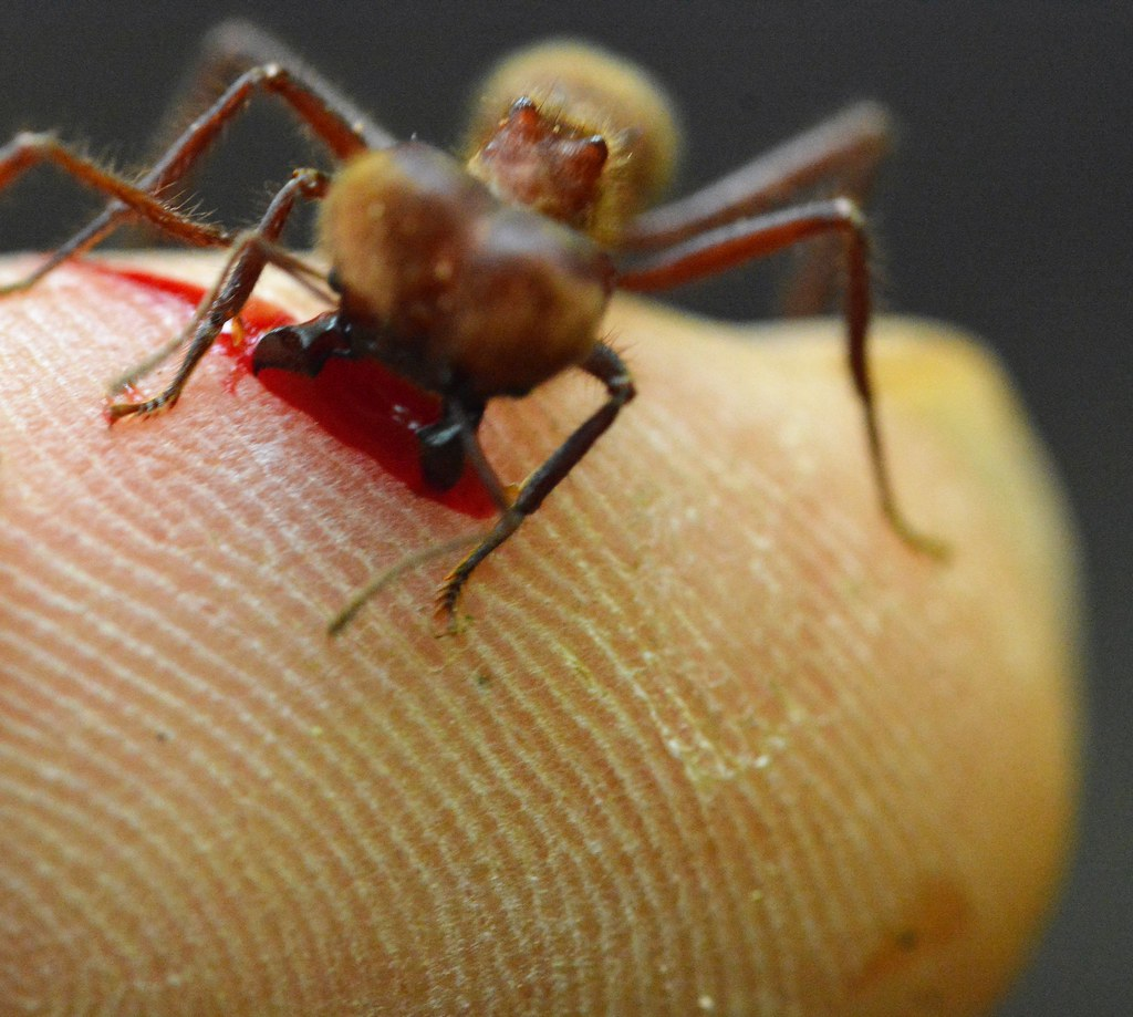 Sompopo Ants Wwwtopsimagescom