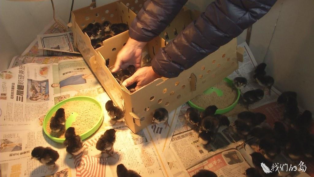 939-1-39親手將小小金門雞放進新家,李淵百和興大團隊呵護了近三十年的土雞血脈,終於回到故鄉。