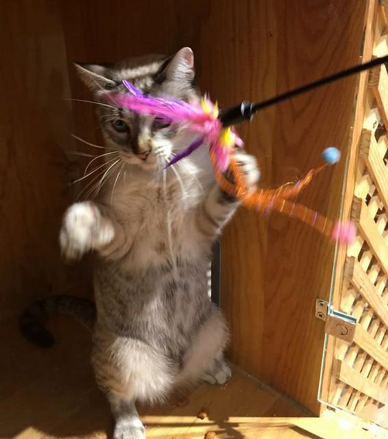 Mambo, gato siamés tabby extrovertido y bueno esterilizado, nacido en Febrero´17, en adopción. Valencia. ADOPTADO. 28065781279_2b5054f294_z