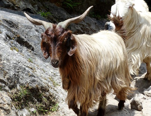 Himalayan Pashmina goat - Wesetern Himalayas ~2700m Altitude | by forest - Thanks - 7.00 M+ views ...