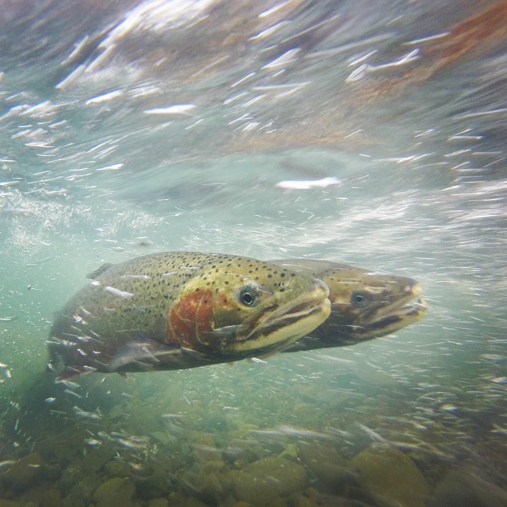 Steelhead | Steelhead pair spawning on Pena Creek Credit ...