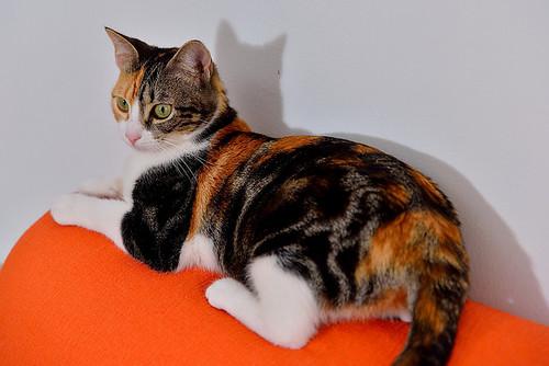 Freya, guapísima y activa gata tricolor jaspeada tabby esterilizada nacida en Mayo´16 en adopción. Valencia. 39764221771_dd1638a1fd