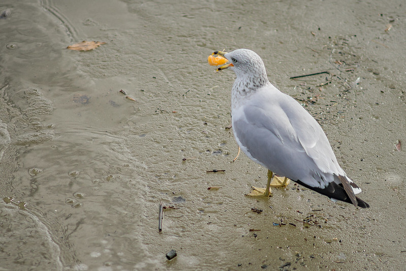 ILCE-7 | Minolta Rokkor-x 200mm f/2.8 | Image of a gull gulping its meal. Taken at a shutter speed of 1/2000.