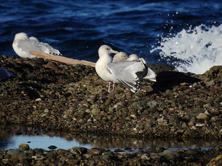 february 14 2018 15:38 - Gulls | by boonibarb