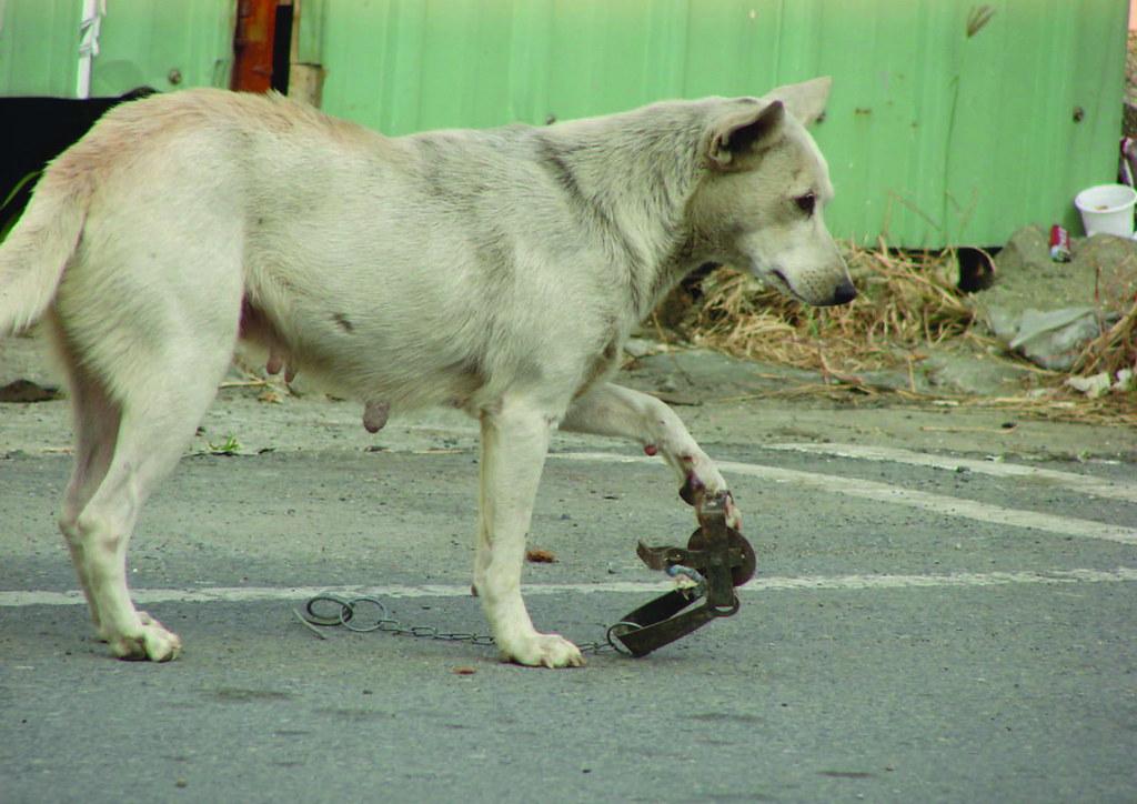 遭捕獸夾住的狗。圖片來源:台灣動物社會研究會