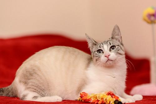Cuca, gata siamesa tabby tímida y dulce esterilizada, nacida en Agosto´17, en adopción. Valencia. ADOPTADA. 38655849540_22ddc3ab80