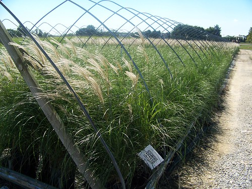 Miscanthus Adagio 3 gal | by Johnson Farms