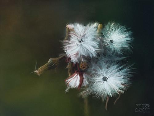 Image of three Dandelion blooms