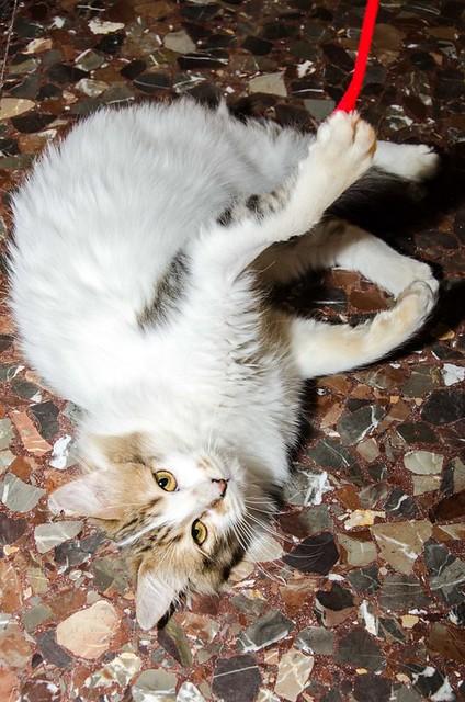 Marlène, gatita cruce Angora blanquiparda dulce y juguetona esterilizada nacida en Julio´17, en adopción. Valencia. ADOPTADA. 25596245187_9f3f672094_z