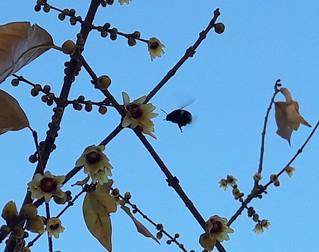 bombo si dirige su un fiore di Calicantus in inverno
