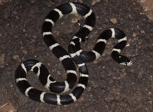 California Kingsnake (Lampropeltis getula californiae) | by Hunter Meakin