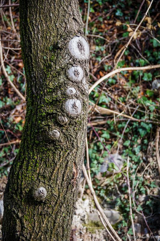 Nudos en la corteza de un árbol