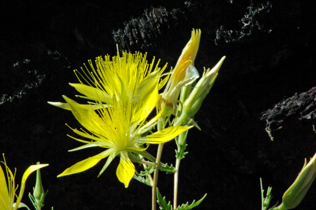 Photo Favorite: Blazing Star blossom in front of black lava at Craters of the Moon National Monument and Preserve, Idaho, July 24, 2010 (Pentax K10D)