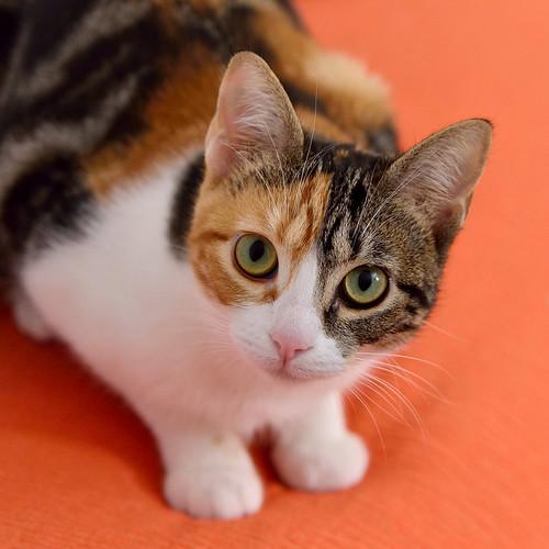 Freya, guapísima y activa gata tricolor jaspeada tabby esterilizada nacida en Mayo´16 en adopción. Valencia. 39054481144_a97b74fd17