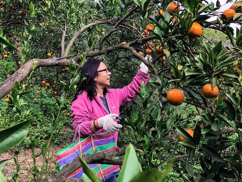 體驗採收梨柑的樂趣