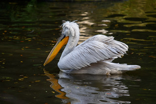 Dalmatian pelican | by pkbhat_20032003