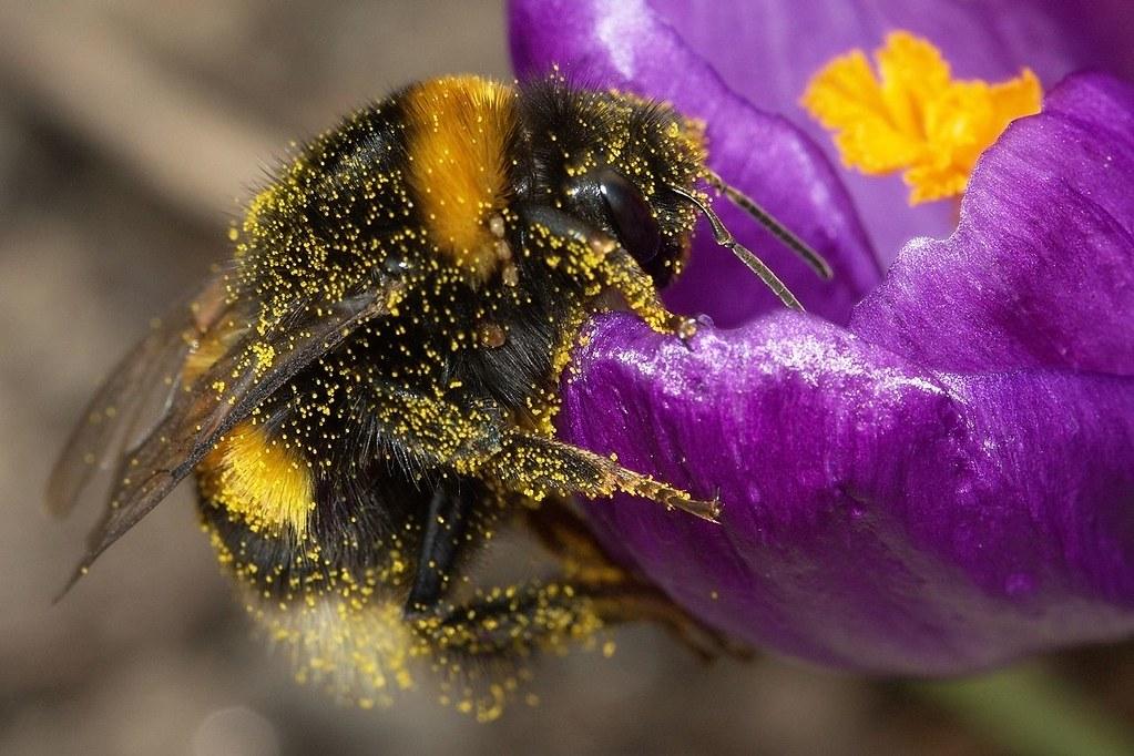 熊蜂。圖片來源:維基百科(CC BY-SA 3.0)