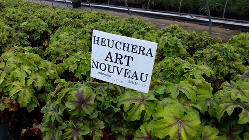 Heuchera Art Nouveau 2 gal | by Johnson Farms