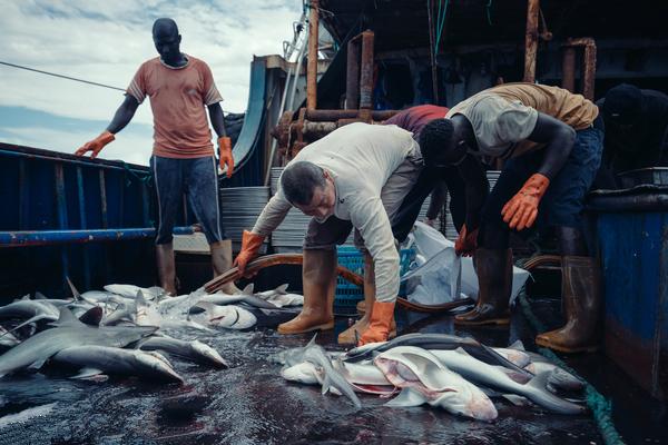 大西洋幾內亞比索海域,福遠漁127號船上的一級水手正在清洗捕獲的鯊魚。圖片來源:LiuYuyang / Greenpeace