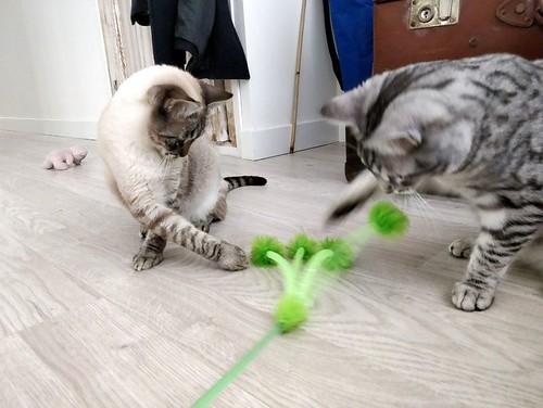 Anubis, bellezón de gato cruce con Mau Egipcio muy activo, nacido en Mayo´17, en adopción. Valencia. ADOPTADO. 38481414075_2b220fdae6