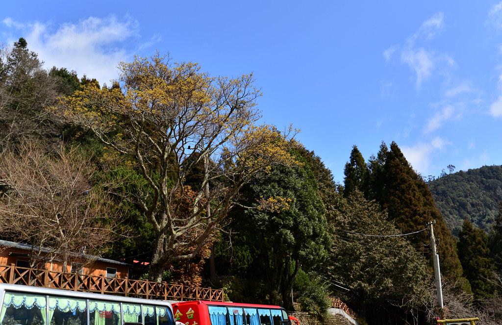 觀霧山莊前的大檫樹,每年結果時期都會吸引好多鳥兒前來