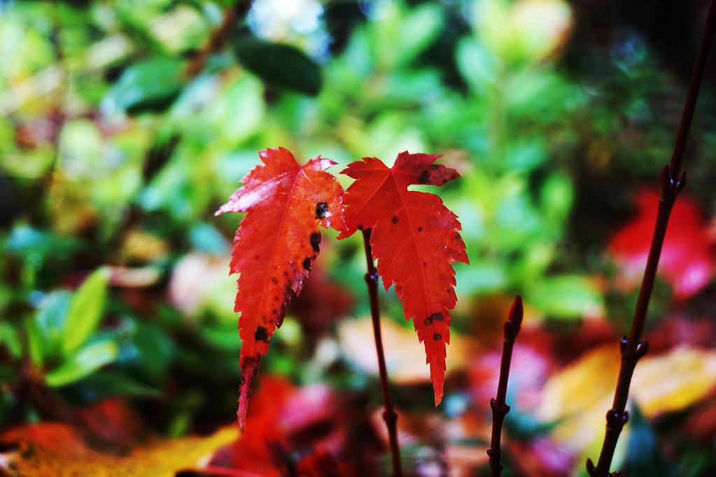 福壽山楓紅 - 可愛