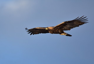 Golden eagle on Seedskadee National Wildlife Refuge | by USFWS Mountain Prairie
