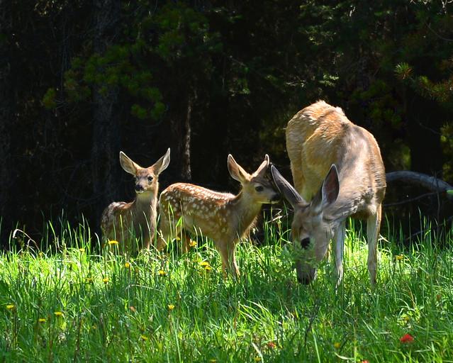 Cierva con sus dos crías comiendo cesped en el Parque de Jasper, lo mejor que ver en Canadá