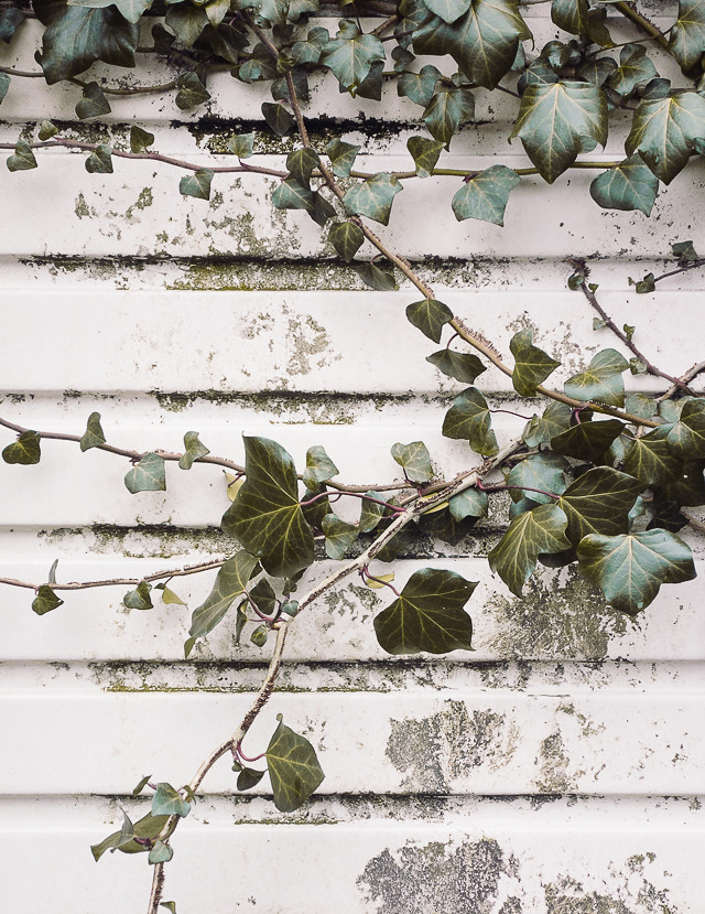 ivy against white garage door