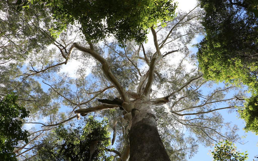 Blackbutt (Eucalyptus Pilularis)