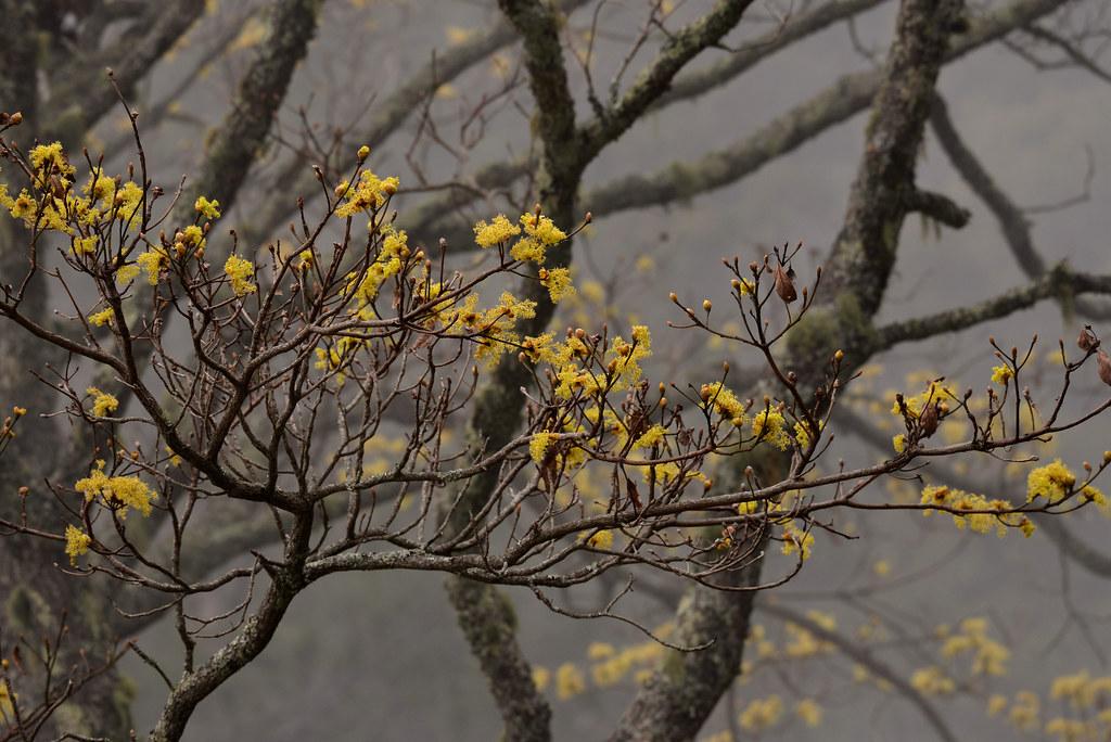 檫樹花配起霧