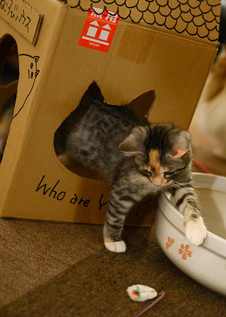 Gatito jugando con un ratón de juguete en un Neko Café en Tokio