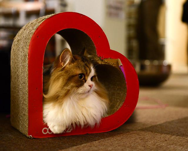 Gato del amor en Japón