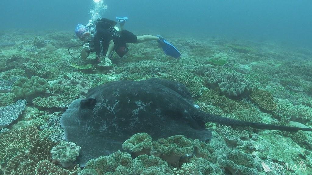 933-1-28中山大學宋克義教授研究團隊,目前已經在東沙紀錄到三種魟魚,數量之豐富讓人驚豔。