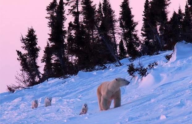 北極熊帶小熊,擷取自《看見真實的北極》,時報出版提供。